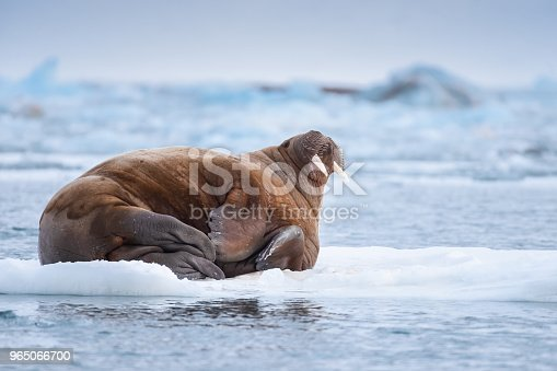 Norway Landscape Nature Walrus On An Ice Floe Of Spitsbergen Longyearbyen Svalbard Arctic Winter Polar Sunshine Day Stock Photo & More Pictures of Adventure