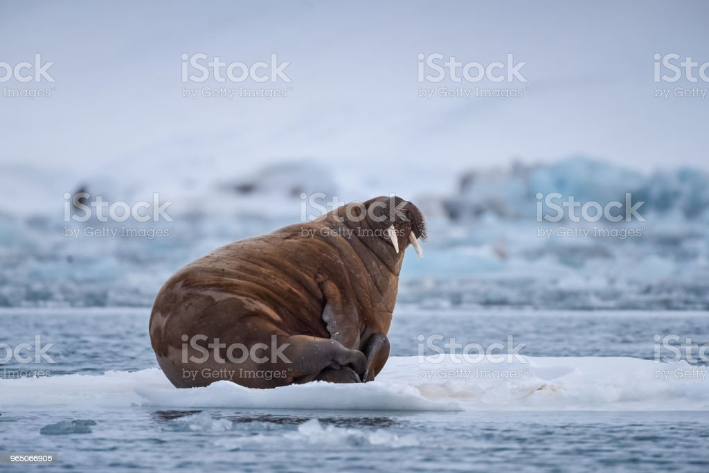 norway landscape nature walrus on an ice floe  of Spitsbergen Longyearbyen  Svalbard   arctic winter  polar sunshine day royalty-free stock photo
