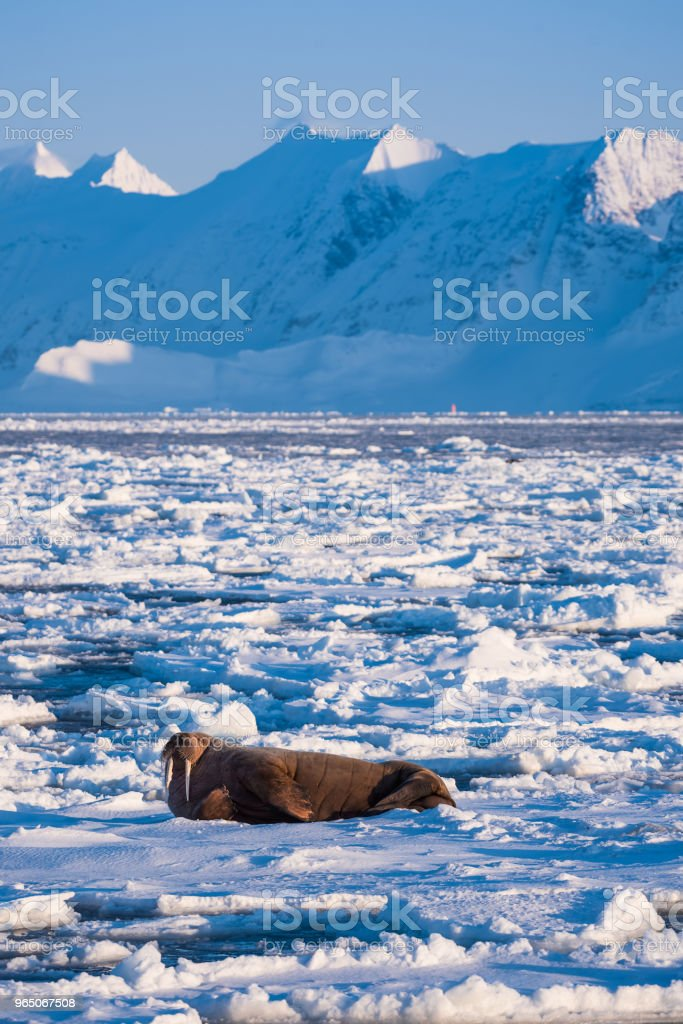 norway landscape nature walrus on an ice floe  of Spitsbergen Longyearbyen  Svalbard   arctic winter  polar sunshine day zbiór zdjęć royalty-free
