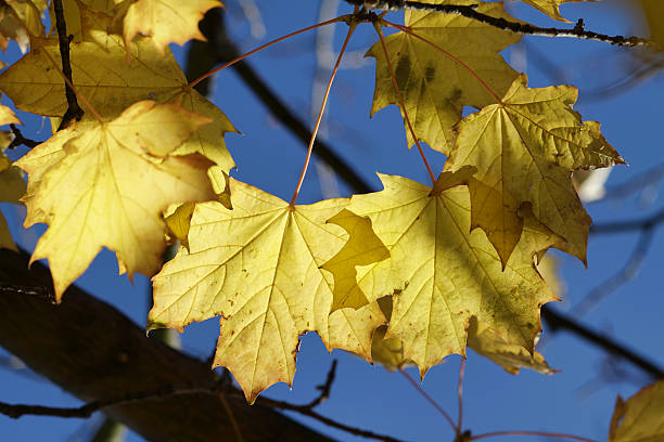 yellow autumn leaves of norway maple acer platanoides - whiteway stock photos and pictures