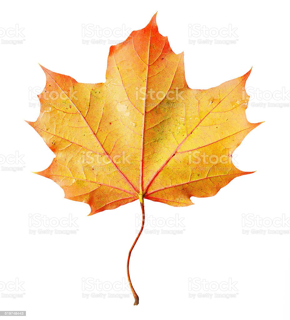 Norway Maple Leaf Stock Photo Download Image Now Istock