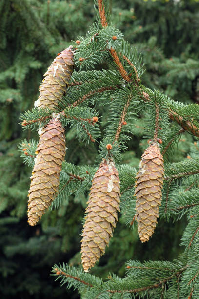 norway spruce, cones and leaves stock photo