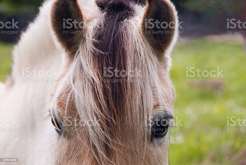 Fjord norvégien cheval vous regarde photo libre de droits