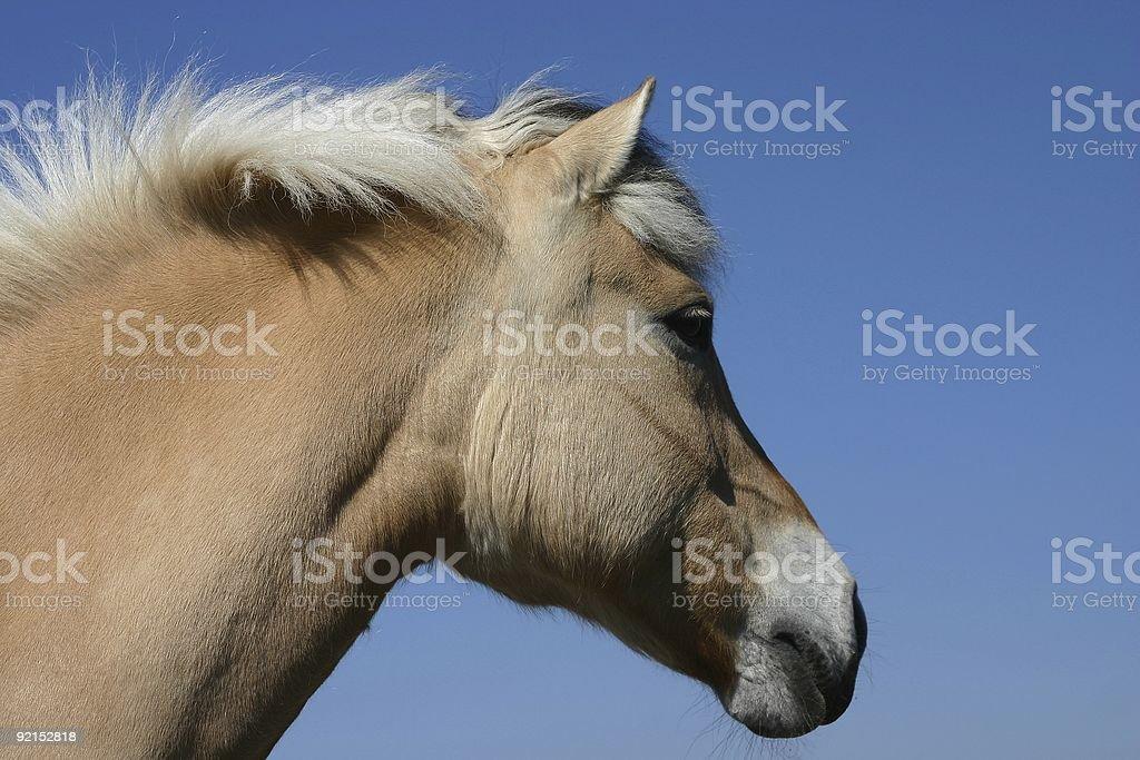 Norwegian fjord horse royalty-free stock photo
