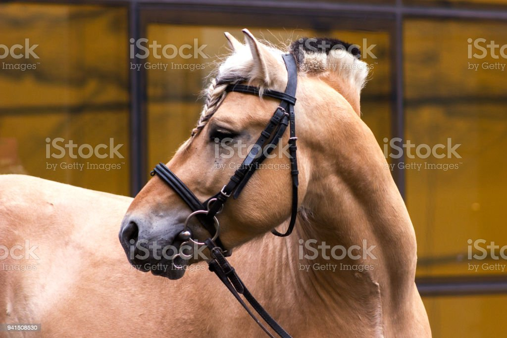 Norwegian fjord male in bridle staying outdoor stock photo