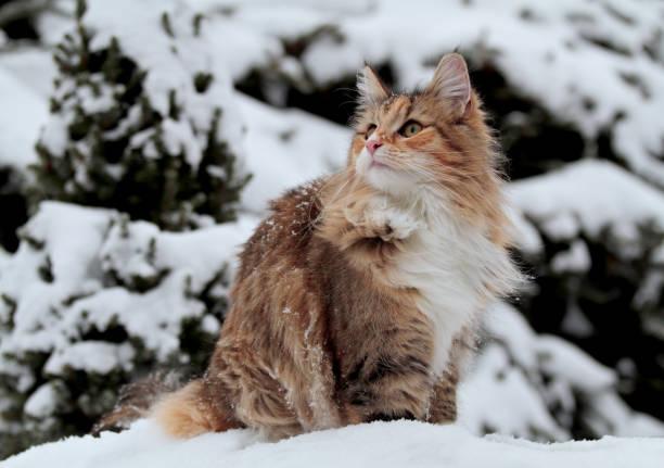 Norwegian forest cat female spending time outdoors in wintertime picture id1194545801?b=1&k=6&m=1194545801&s=612x612&w=0&h=mepxbac2bua6btf519cojsykt2rai53o2uk7xa2wyam=