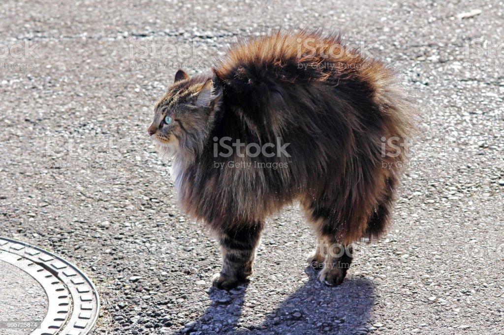 Eine Norwegische Waldkatze Ist Böse Und Macht Eine Katze Buckel