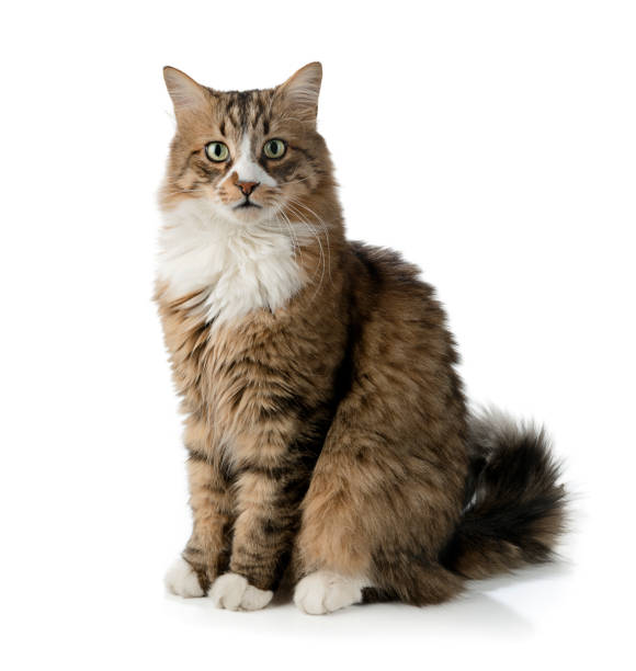 Norwegian forest cat isolated picture id939982408?b=1&k=6&m=939982408&s=612x612&w=0&h=4qaye8gzwwrhc5f9mtzjggezx4j1azgl3voi0trmopm=