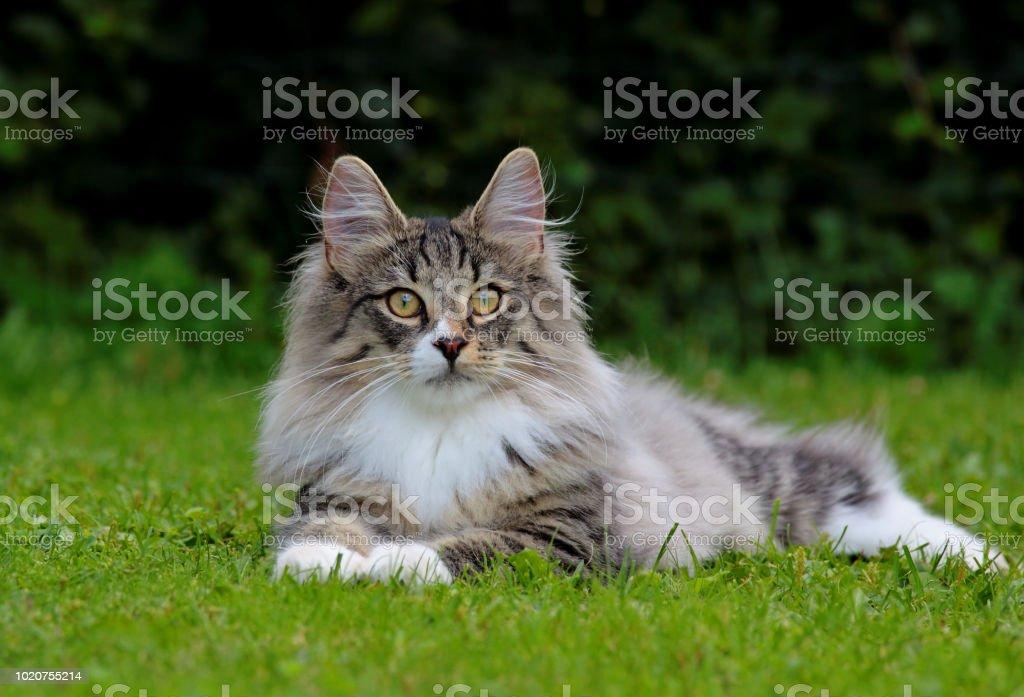 Norwegian Forest Cat Kitten Stock Photo Download Image Now Istock