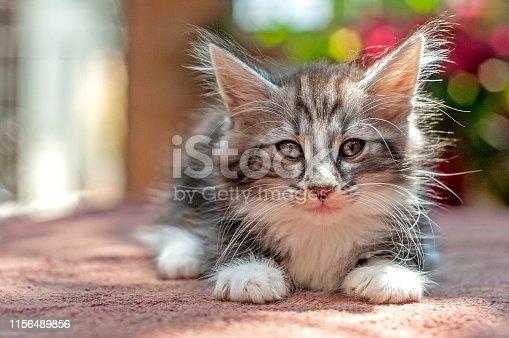 Portrait of a norwegian forest kitten, outside