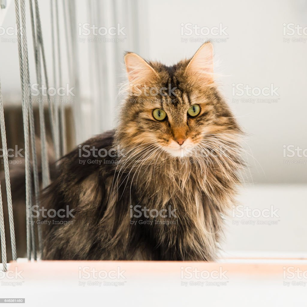 Norwegian Forest Cat, long-haired cat stock photo