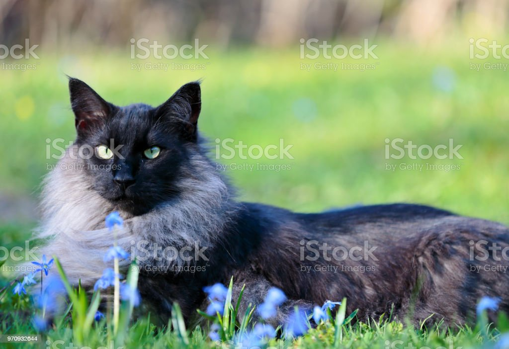 Norwegian Forest Cat Male Stock Photo Download Image Now Istock
