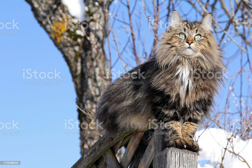Norwegische Waldkatze auf einem Zaun im winter – Foto