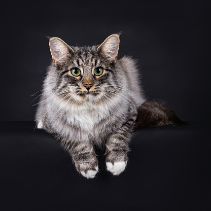Black Silver Spotted Tabby with white Norwegian Forest cat.  Lying down and facing the camera with his paws hanging over the edge, isolated on a black background