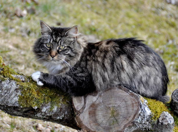 Norwegian forest cat outdoor Longhair cat sitting on a log norwegian culture stock pictures, royalty-free photos & images