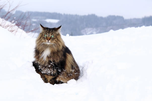Image result for norwegian forest cat
