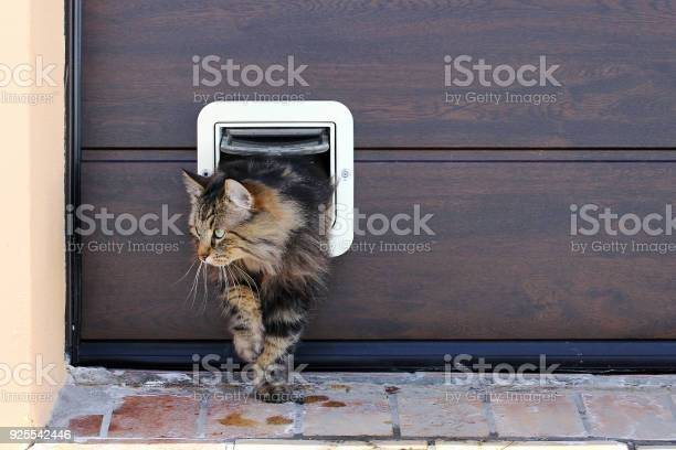 Norwegian forest cat passes through a cat flap picture id925542446?b=1&k=6&m=925542446&s=612x612&h=q4ul0btiavva2bmml2pdv5gfljaixd2fphuzyqlic18=