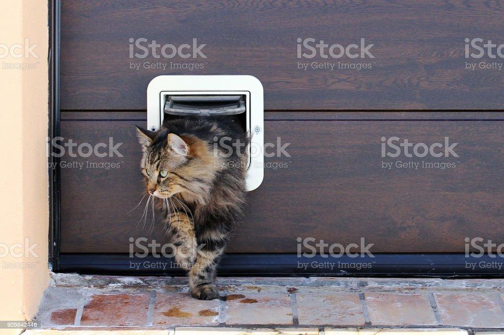 Eine norwegische Waldkatze durchläuft eine Katzenklappe – Foto