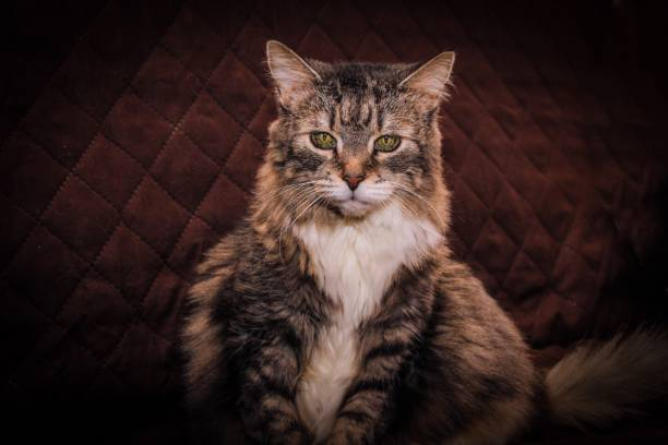 Norwegian Forest Cat stock photo
