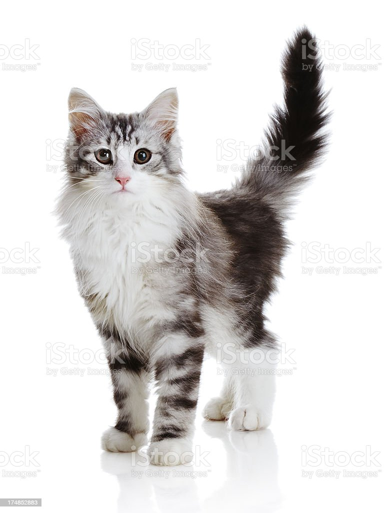 Norwegian Forest Cat royalty-free stock photo
