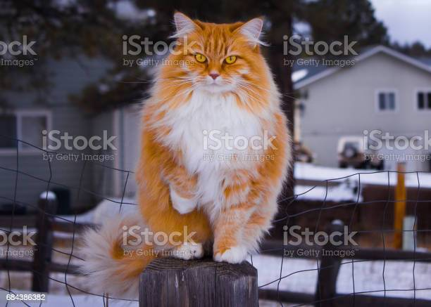 Norwegian forest cat picture id684386382?b=1&k=6&m=684386382&s=612x612&h=qy5odte4n63x5iorwjomtea0smlroubehzrvfmnoodi=