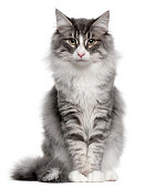istock Norwegian Forest Cat (5 months old) 962862572