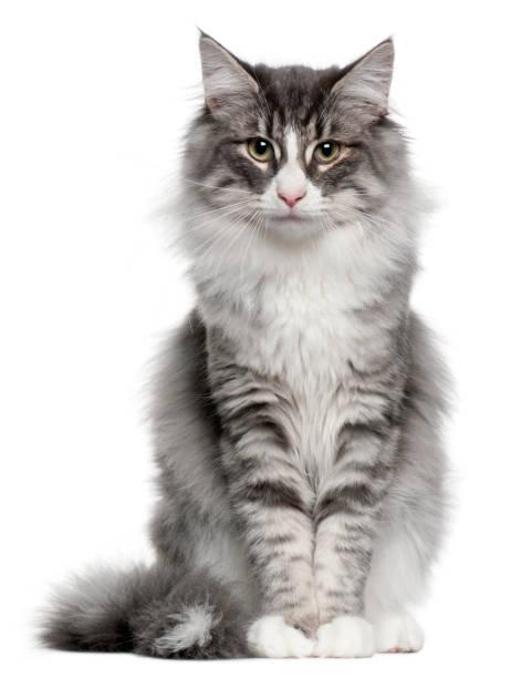 Norwegian forest cat picture id962862572?b=1&k=6&m=962862572&s=612x612&w=0&h=qwaq 435zgklyl4gfxm1sbn1ayvgexwgsvfajiunskm=