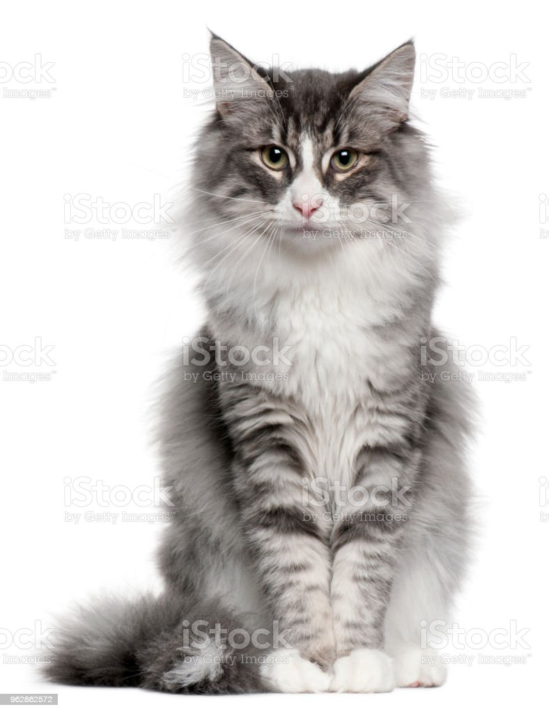 Norwegian Forest Cat (5 months old) stock photo