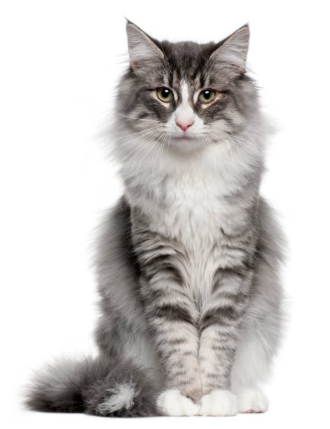 Norwegian Forest Cat (5 months old) Norwegian Forest Cat (5 months old) norwegian culture stock pictures, royalty-free photos & images