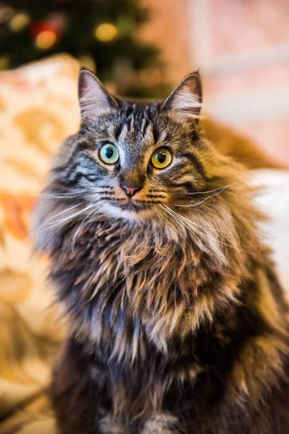 Norwegian forest cat portrait with bigfluffy muzzle stock photo