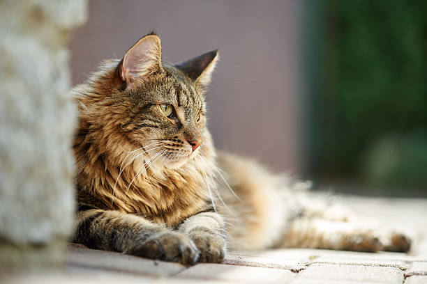 Norwegian forest cat relax in the sun Norwegian forest cat enjoys the sun at afternoon. norwegian culture stock pictures, royalty-free photos & images