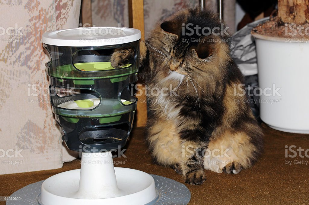Norwegian forest cat Retrieves dry food from a feed container stock photo