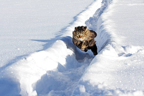 Norwegian forest cat runs quickly through the snow picture id508792388?b=1&k=6&m=508792388&s=612x612&w=0&h=amnlgb0lfb11p1gntzyobgrwqwcv5bjlaq qoap3sdk=