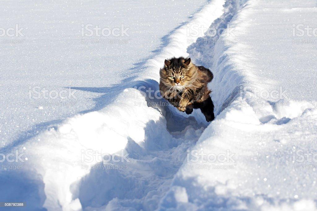 Norwegian Forest cat runs quickly through the snow stock photo