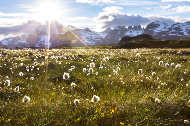 Paisagem norueguesa no verão com sol, montanhas e grama de algodão - foto de acervo