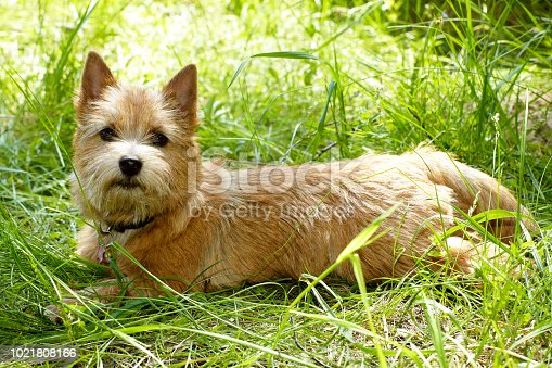 Norwich Terrier puppy in the green grass