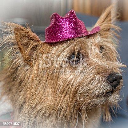 Norwich Terrier Wearing Pink Hat