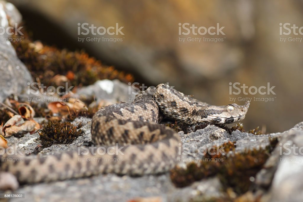 nose horned viper in natural habitat stock photo