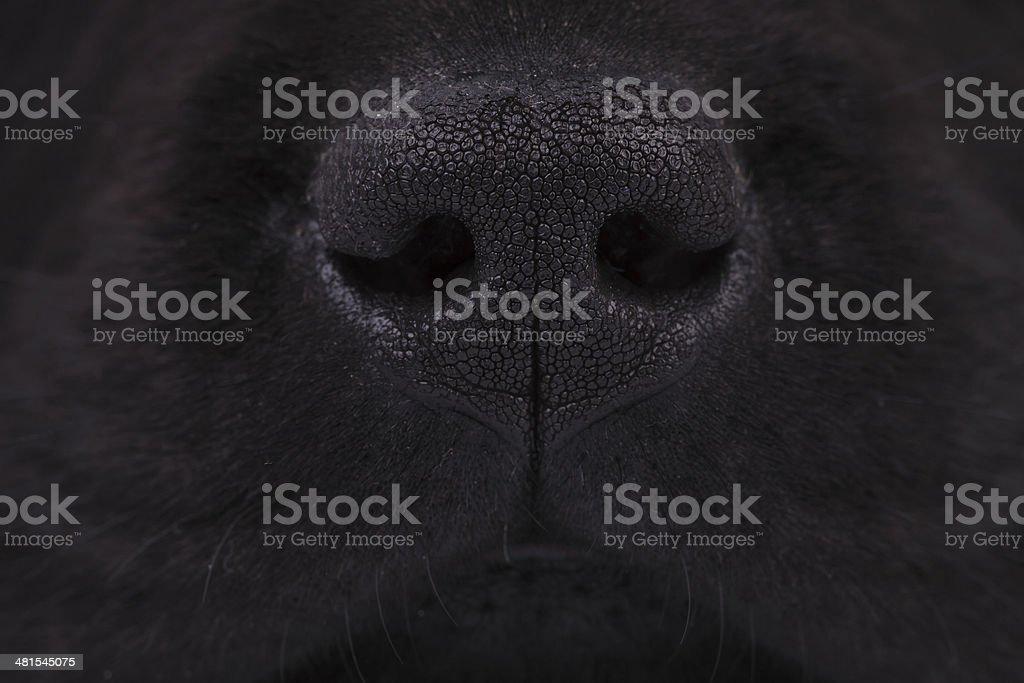 macro picture of a nose of a black labrador retriever puppy dog