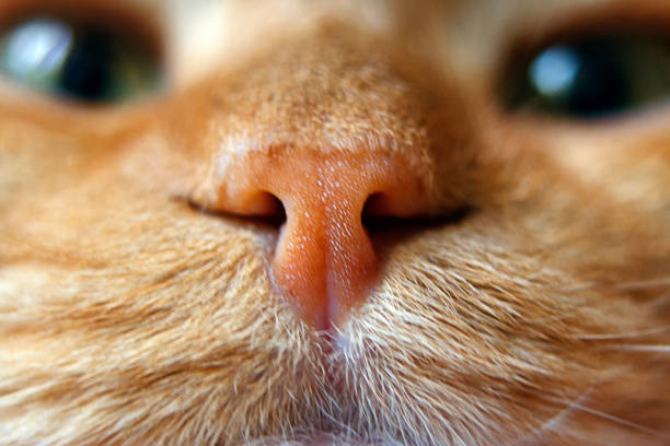 nose of a red cat in focus macro - nose stock photos and pictures