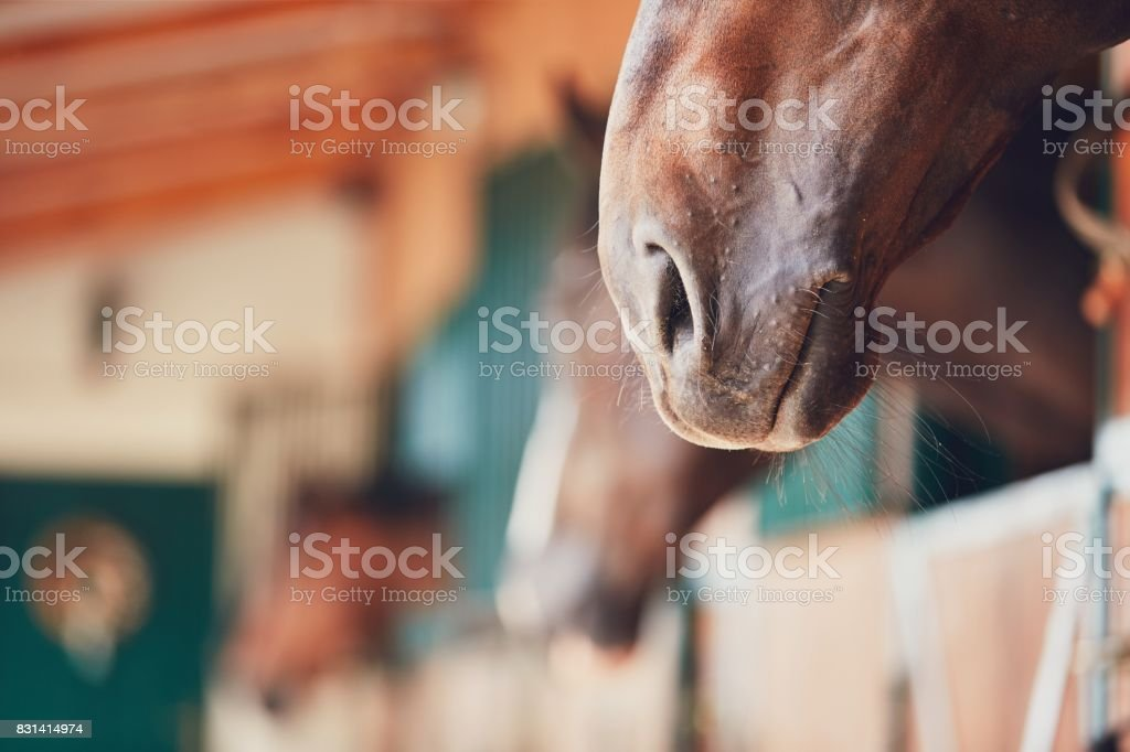 Nose of the horse stock photo