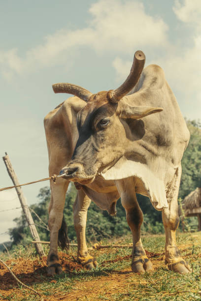 nose ring roped and horned cuban cattle - katiedobies stock pictures, royalty-free photos & images