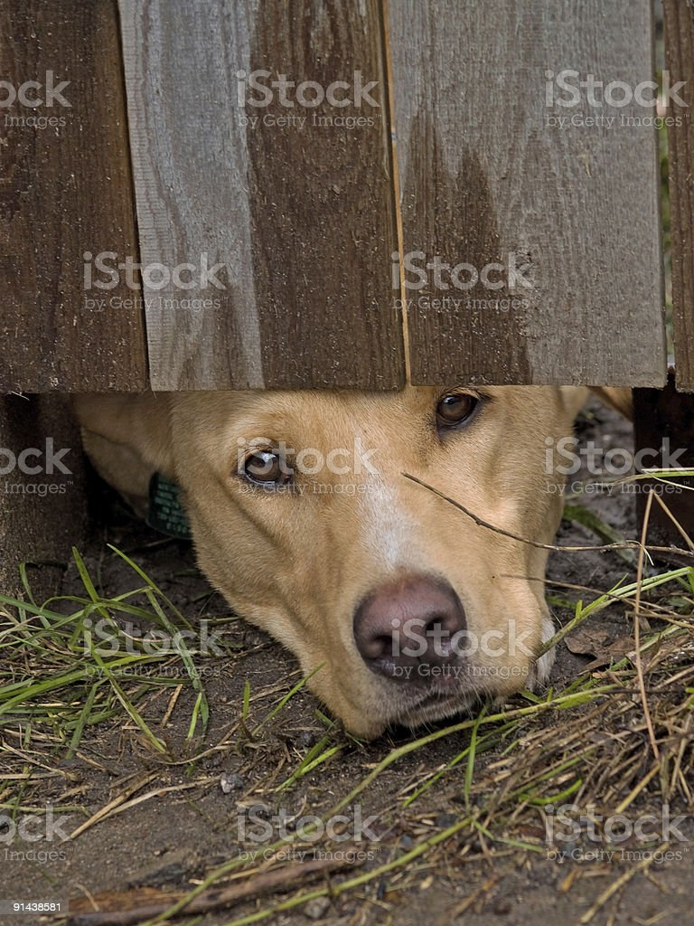 Nose under the fence stock photo