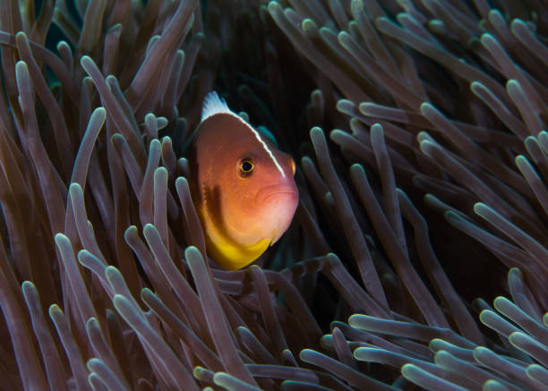 Nosestripe anemonefish or Skunk clownfish stock photo