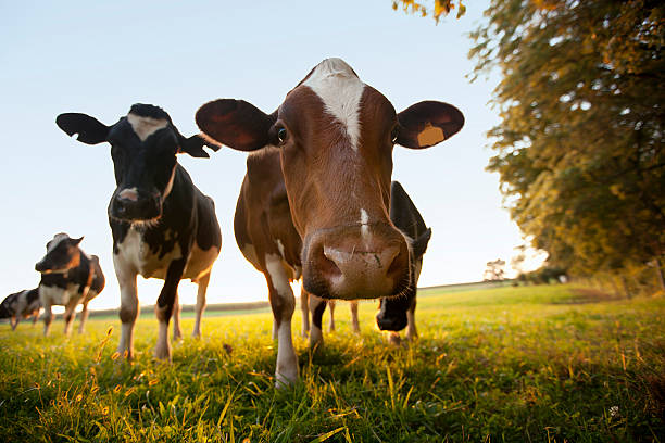 Nosey Cows Up Close stock photo