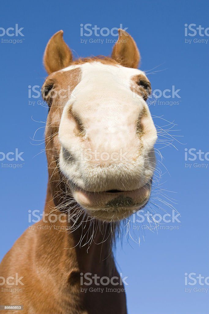 Nosey cavallo foto stock royalty-free
