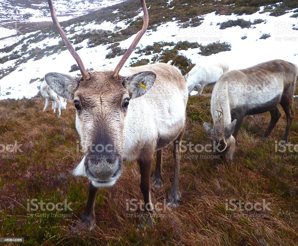 Nosey reindeer near snow stock photo