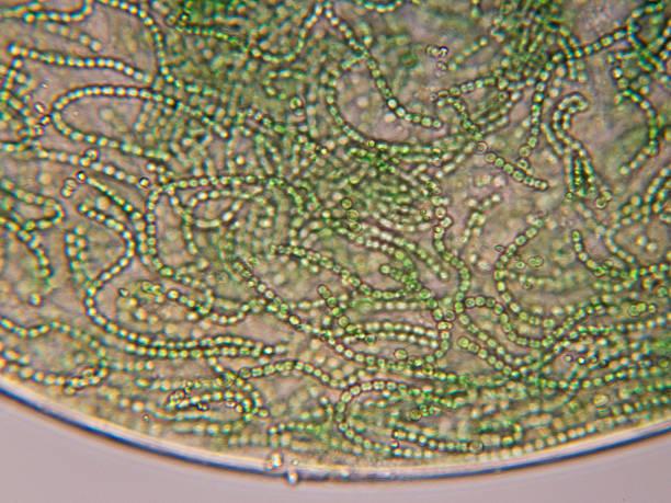Nostoc cyanobacteria micrograph stock photo