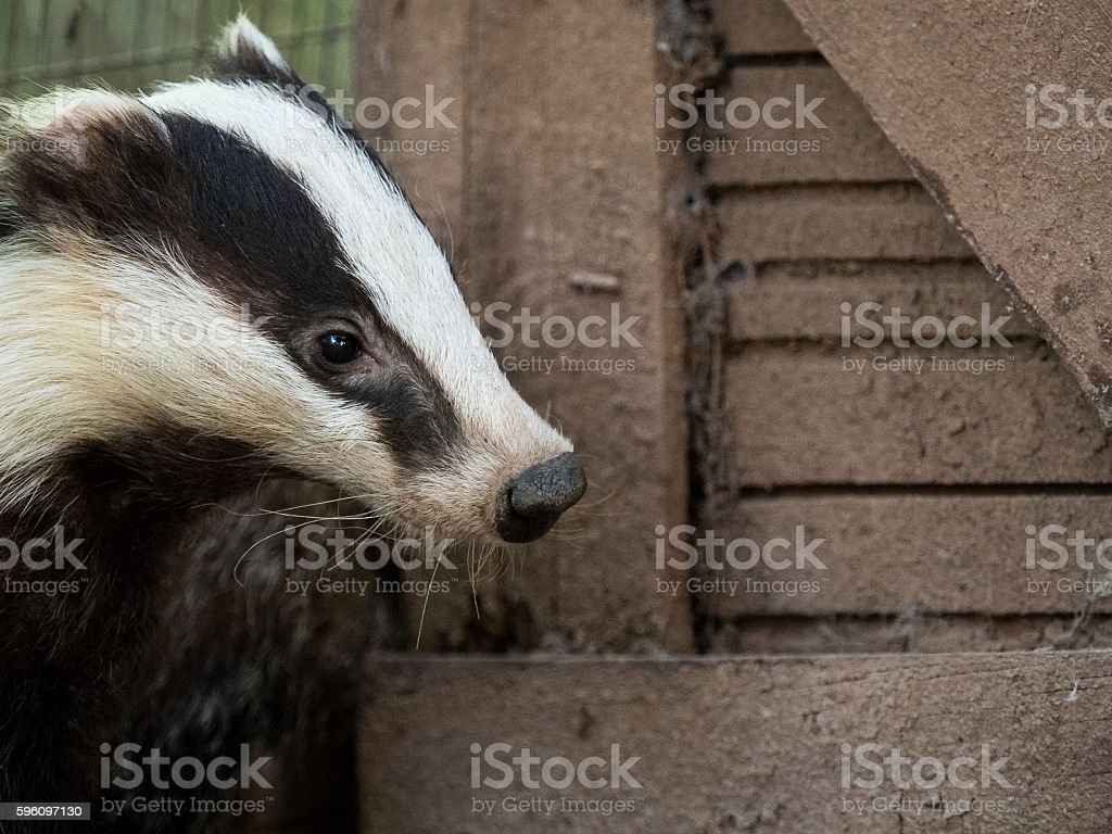 Nosy badger Meles meles in a country house royalty-free stock photo
