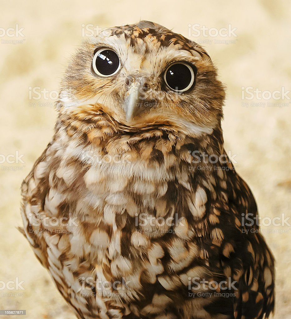 Nosy burrowing owl with big eyes staring at the camera stock photo